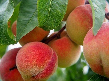В 2021 году в Крыму не будет урожая персиков и абрикосов